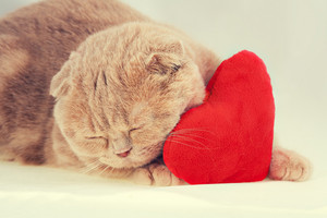 Scottish fold cat sleeping on red heart-shaped pillow