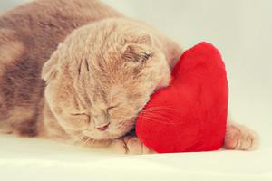 Scottish fold cat sleeping on red heart-shaped pillow