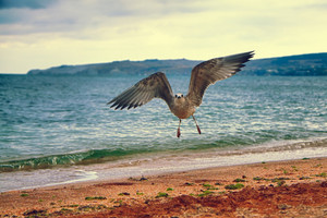 Seagull flying over the coast