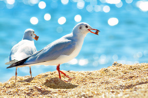 Seagulls eating bread