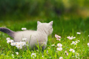 Seamese kitten on green lawn