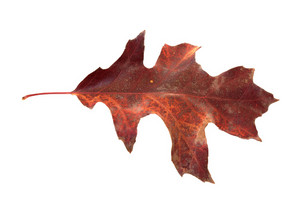 Seasons Changing Red Oak Leaf