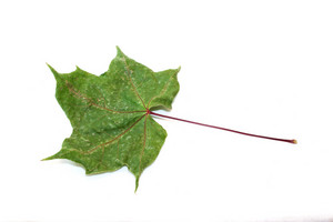 Seasons Green Maple Leaf