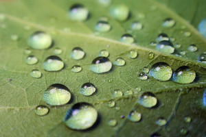 Several water drops collect on a green leaf