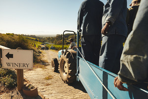 Shot of people in tractor wagon transporting harvested grapes to winery. Transporting grapes from vineyard to wine manufacturer