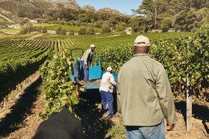 Shot of vineyard workers loading harvested grapes on a tractor trailer for transporting to wine manufacturer. Farmers delivering grapes to wine factory.