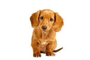 Shy Dachshund Puppy