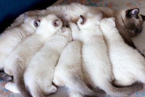 Siamese cat feeding six kittens