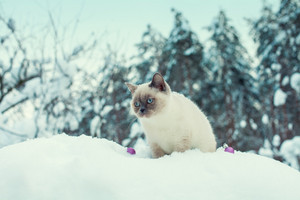 Siamese cat on the snowy tree in winter