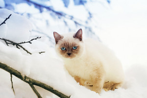 Siamese cat walking in deep snow