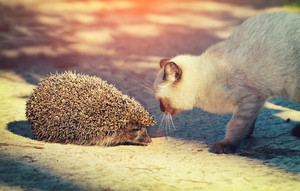 Siamese kitten sniffing a hedgehog