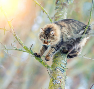 Siberian cat down from a tree