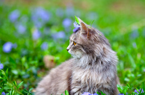 Siberian cat on flower lawn