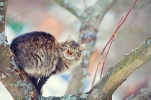 Siberian cat on the tree in winter