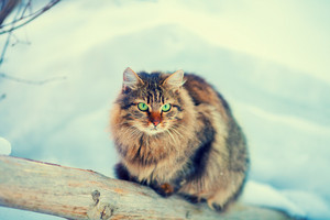 Siberian cat outdoors in winter