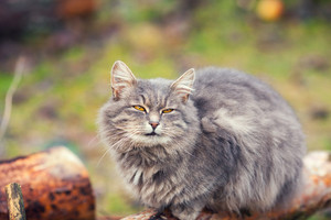 Siberian cat relaxing outdoors on the wooden log