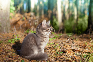 Siberian cat siting in the pine forest