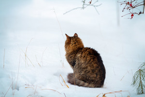 Siberian cat siting outdoors back to camera in snowy winter