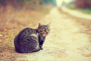 Siberian cat sits on a rural road