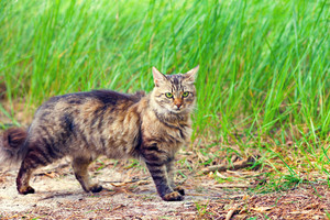 Siberian cat walking on the field