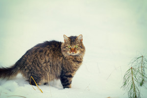 Siberian cat walking outdoors in snowy winter