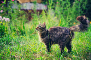 Siberian cat walking outdoors