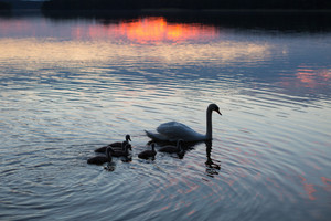 Silhouettes of swans (mother and chicks) swimming on evening lake surface. Beautiful close up of birds
