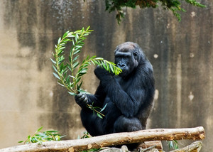 Silverbacked Gorilla Eating