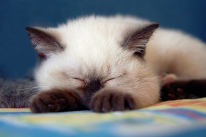 Sleeping Siamese kitten