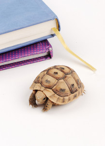 Slow turtle walking on table with book behind