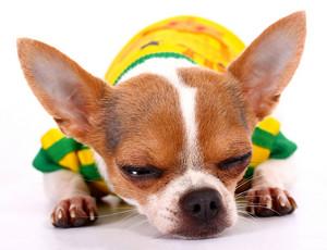 Small Chihuahua Having A Sleep