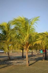 Small Coconut Tree