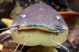 Smiling Catfish