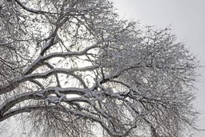 Snow On Trees 215