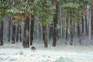 Snowfall in the winter pine forest