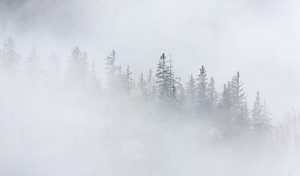 Snowy, dense forest in thick fog