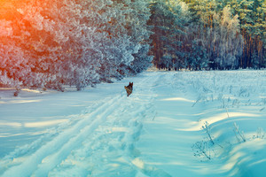 Snowy winter forest at sunset light with running dog