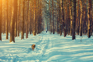 Snowy winter pine forest