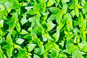 Soapwort (Saponaria officinalis) green leaves background. Nature green leaves pattern