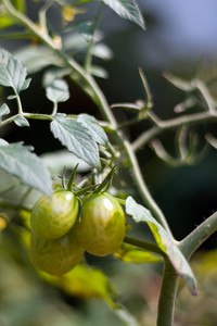 Some fresh grown green grape tomatoes slowly ripening right on the vine.