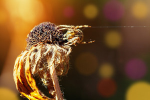 Spider on the dry flower in autumn