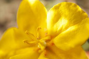 Sterculiaceae