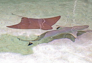 Stingray And Shark Fish