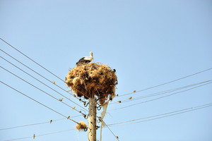 Stork on wires with many little friends