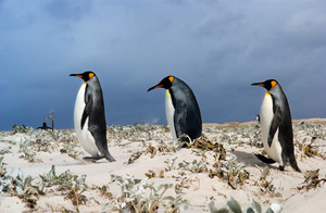 3 King Penguins follow the leader in the Falkland Islands