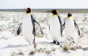 3 King Penguins strolling on the sand. Focus is on the last one.