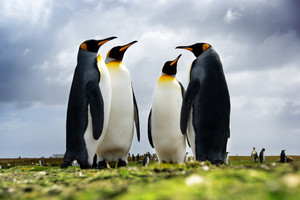 4 King Penguins standing together