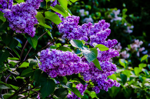 A beautiful bunch of blooms lilac flowers with some green leafs. Lilac flowers in the garden