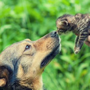 A big dog and a little kitten sniffing each other outdoor
