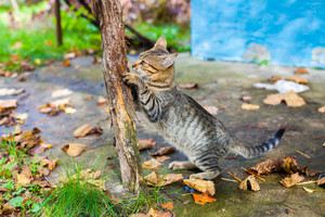 A cat grinds its claws against a wooden pole outdoor in autumn